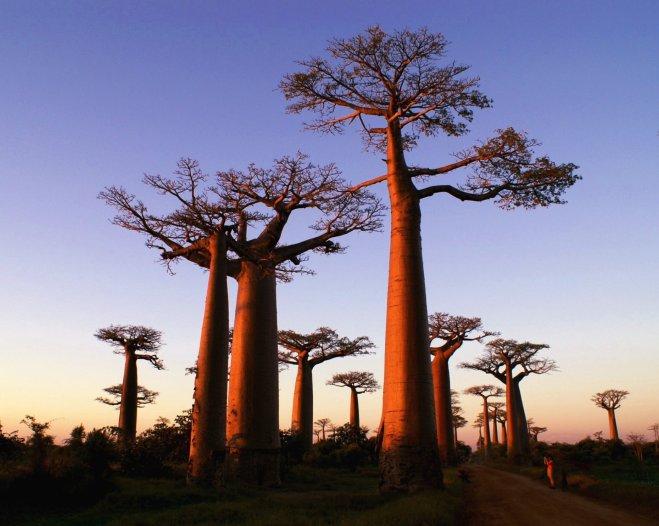 Baobab_alley