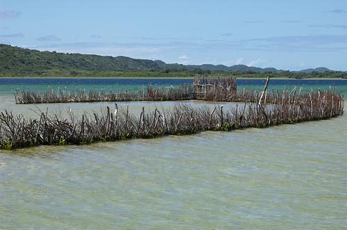 Tonga palisade fish traps