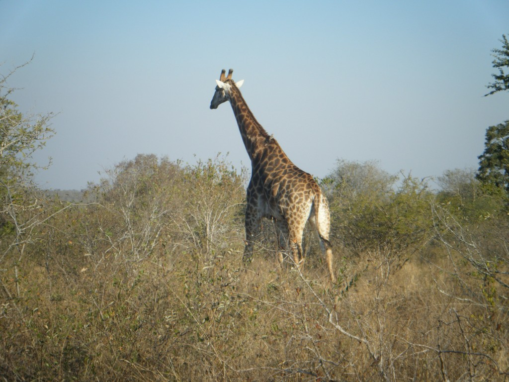 Giraffe near a milkwood tree