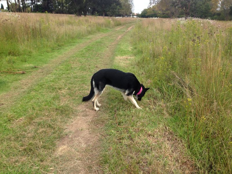 Layla on her R250 per hour walk with the Dog Behaviourist
