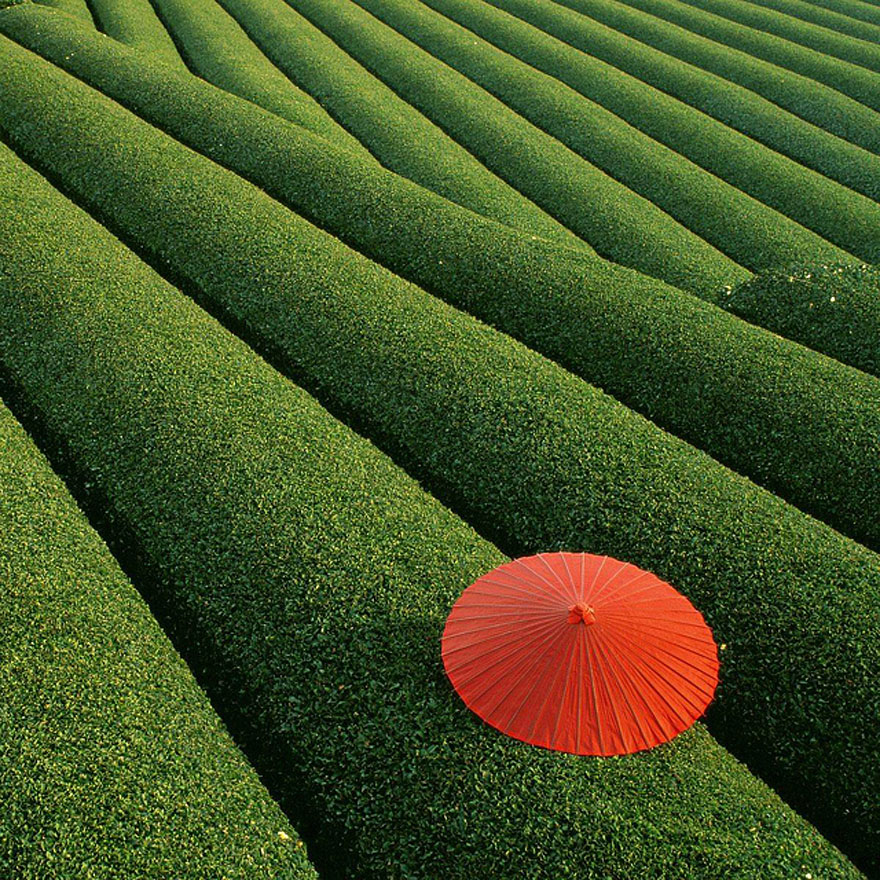 Fields of Tea in China