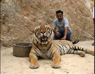 Tigers#24