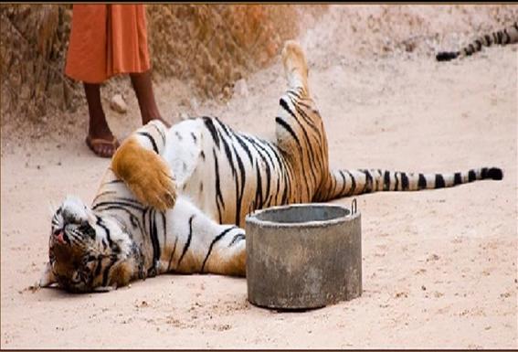 Tigers#27