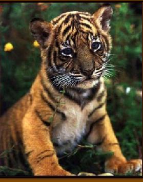 Tigers#4