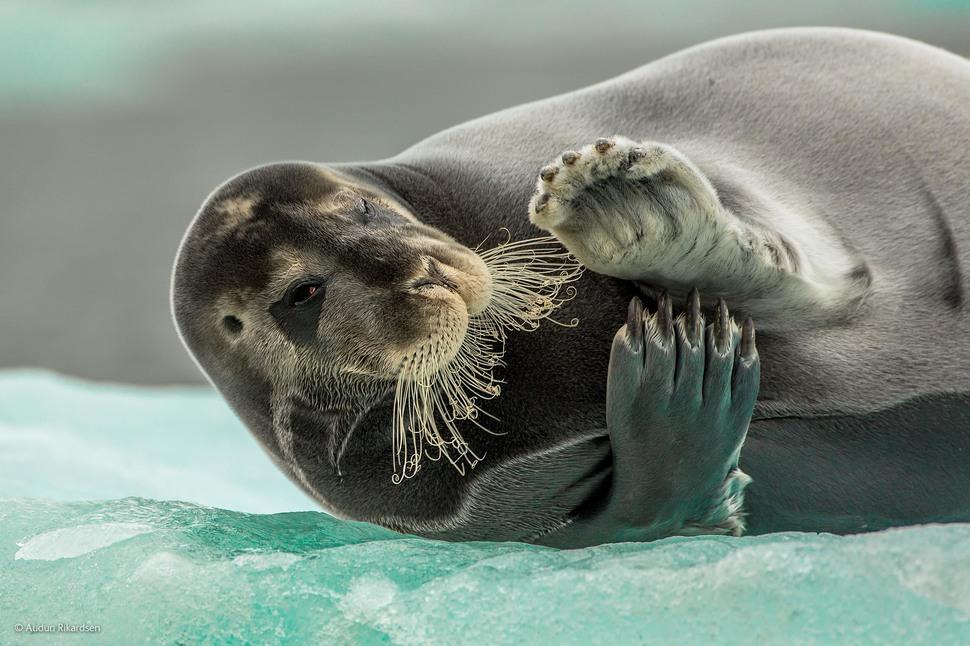'Flirting Bearded Seal' by Audun Rikardsen