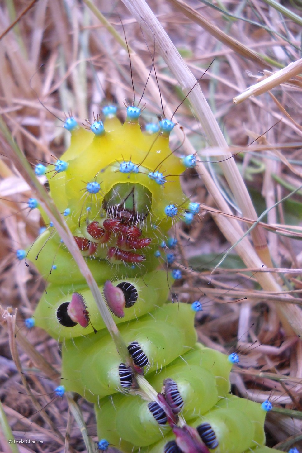 'Great Peacock Moth Caterpillar' by Leela Channer