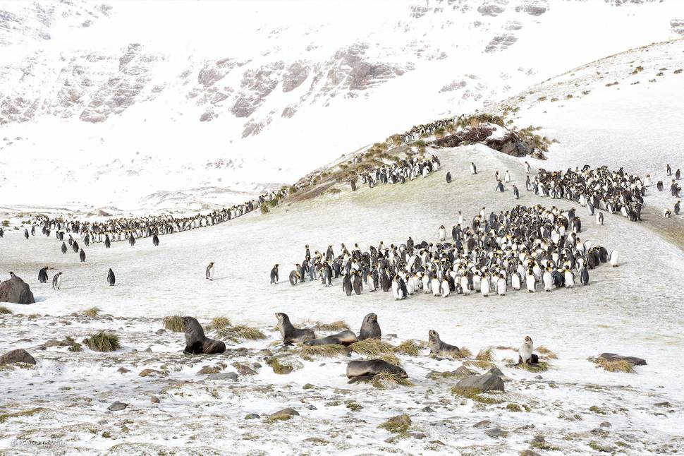 'King Penguins and Fur Seals' by Denise Ippolito