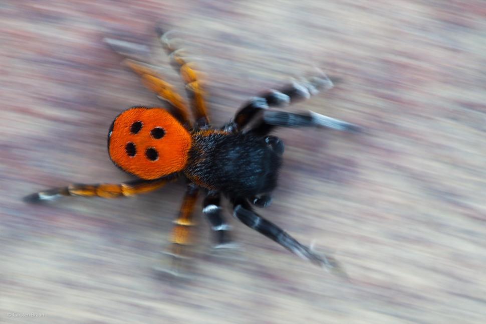 'Ladybird Spider' by Carsten Braun