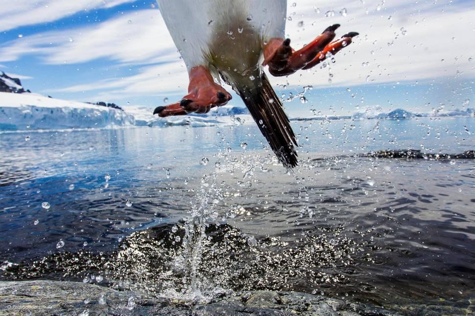 'Leaping Gentoo Penguin' by Paul Souders