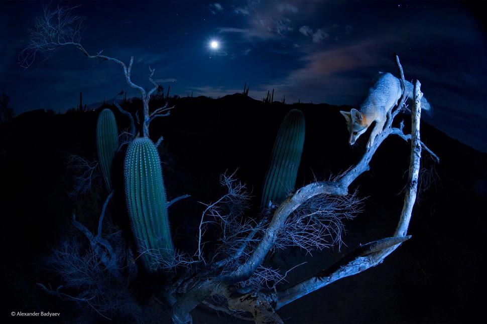 'Moonlight Climber' by Alexander Badyaev