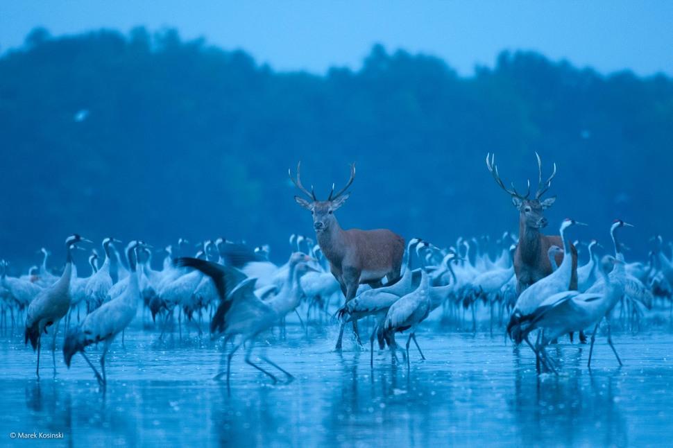 'Red Deer and Cranes' by Marek Kosinski