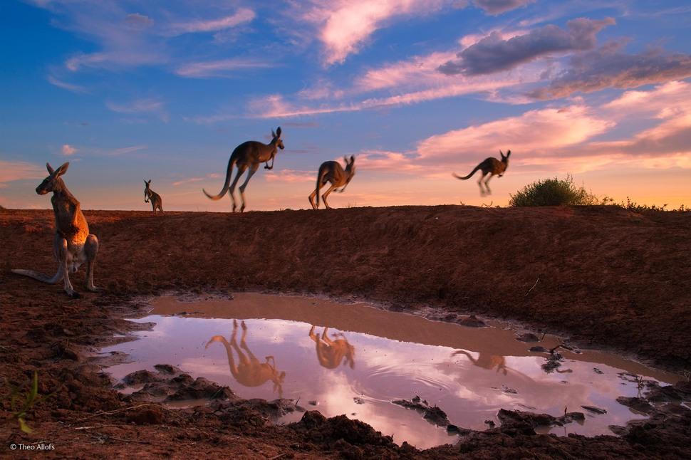 'Red Kangaroos at Waterhole' by Theo Allofs