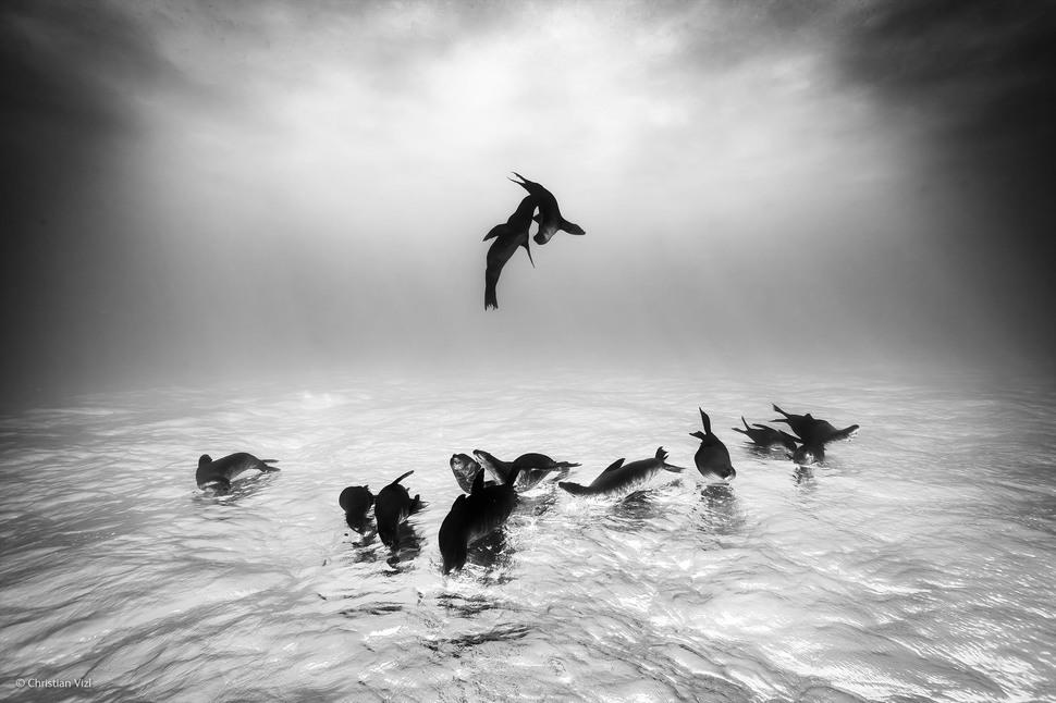 'Sea Lions Dreams' by Christian Vizl