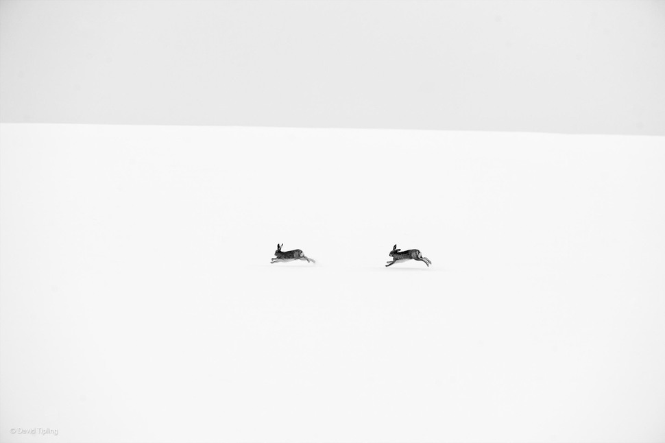 'Winter Hares' by David Tipling
