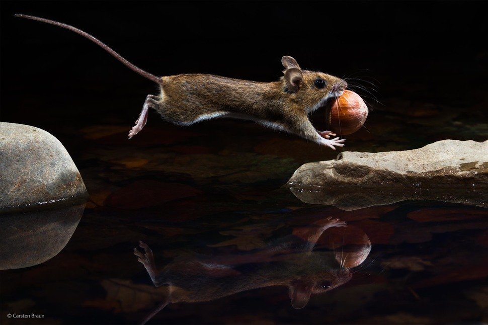 'Yellow-Necked Mouse' by Carsten Braun