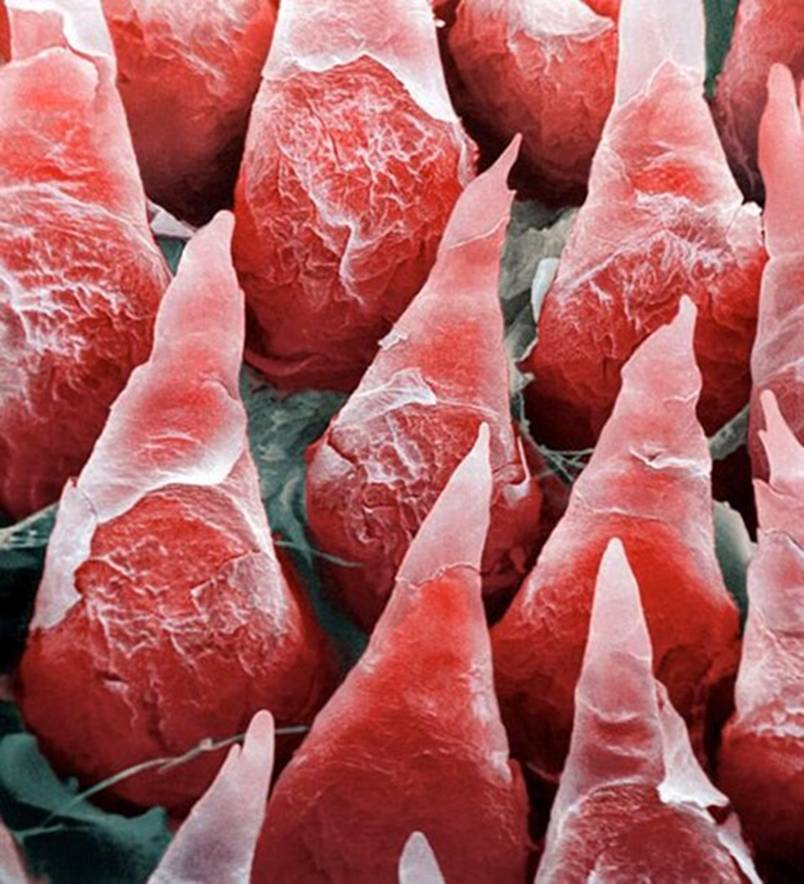 A microscopic image of the human tongue