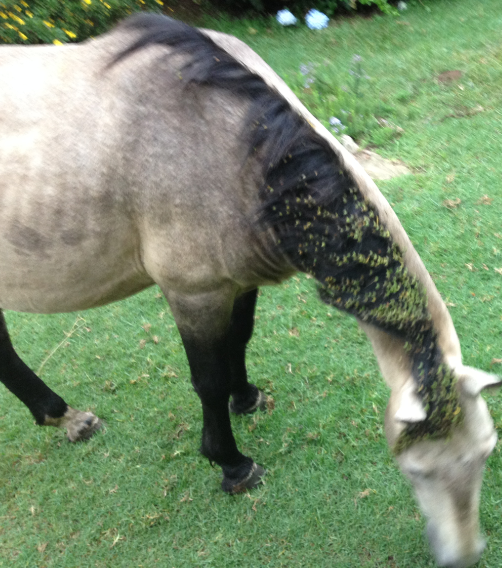 The manes of the horses were covered with burrs