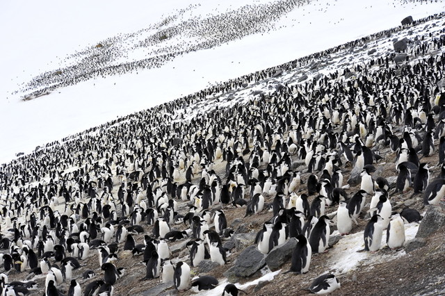 Modern Polar Expeditions#17 Chinstrap penguins