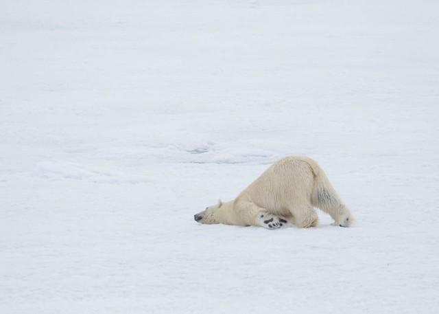 Modern Polar Expeditions#23 Polar Bear in Svalbard
