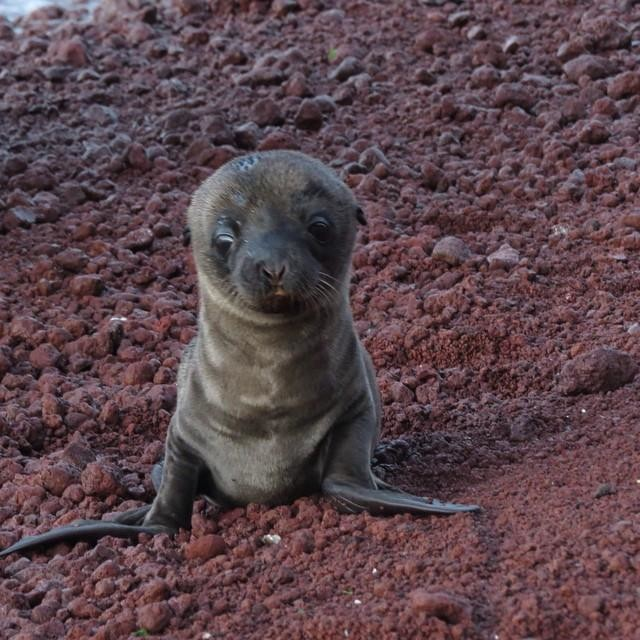 Modern Polar Expeditions#26 Baby Sea Lion a few days old