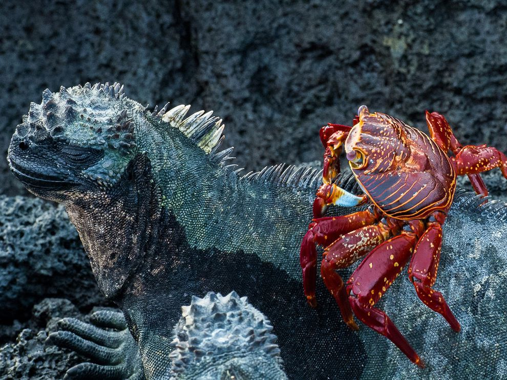 A bright-red Sally Lightfoot crab climbing onto an iguana
