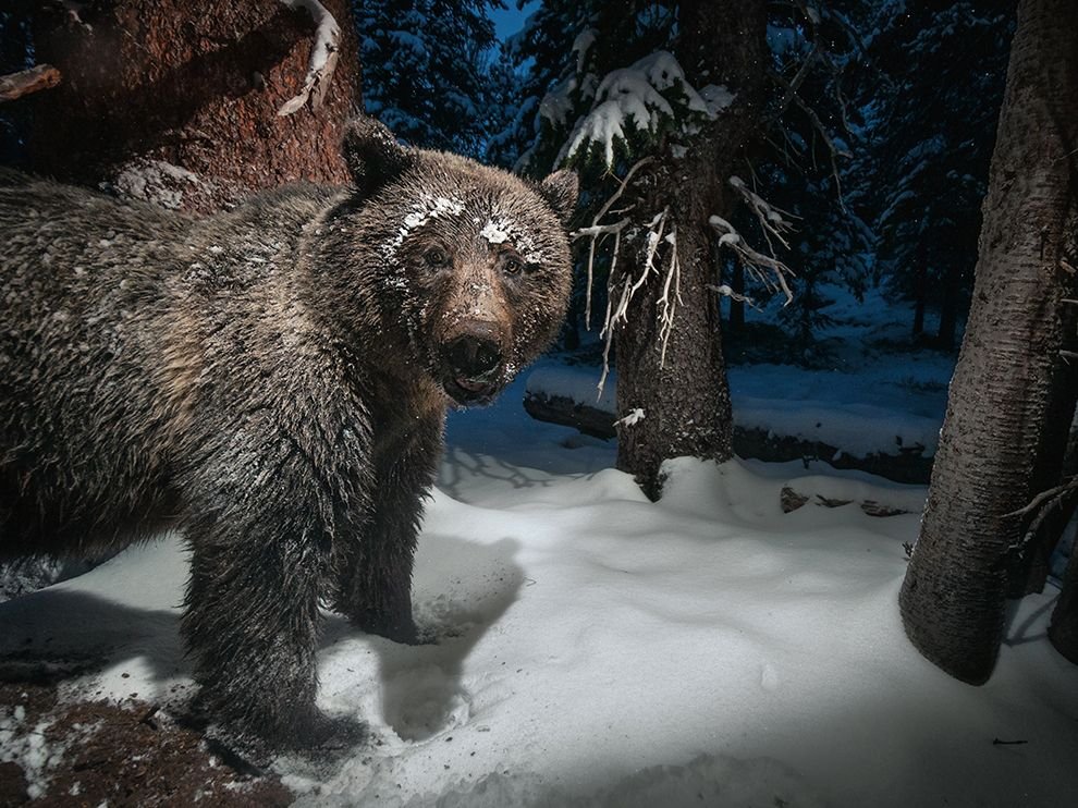 A grizzly bear stealing whitebark pine nuts from a squirrel's cache
