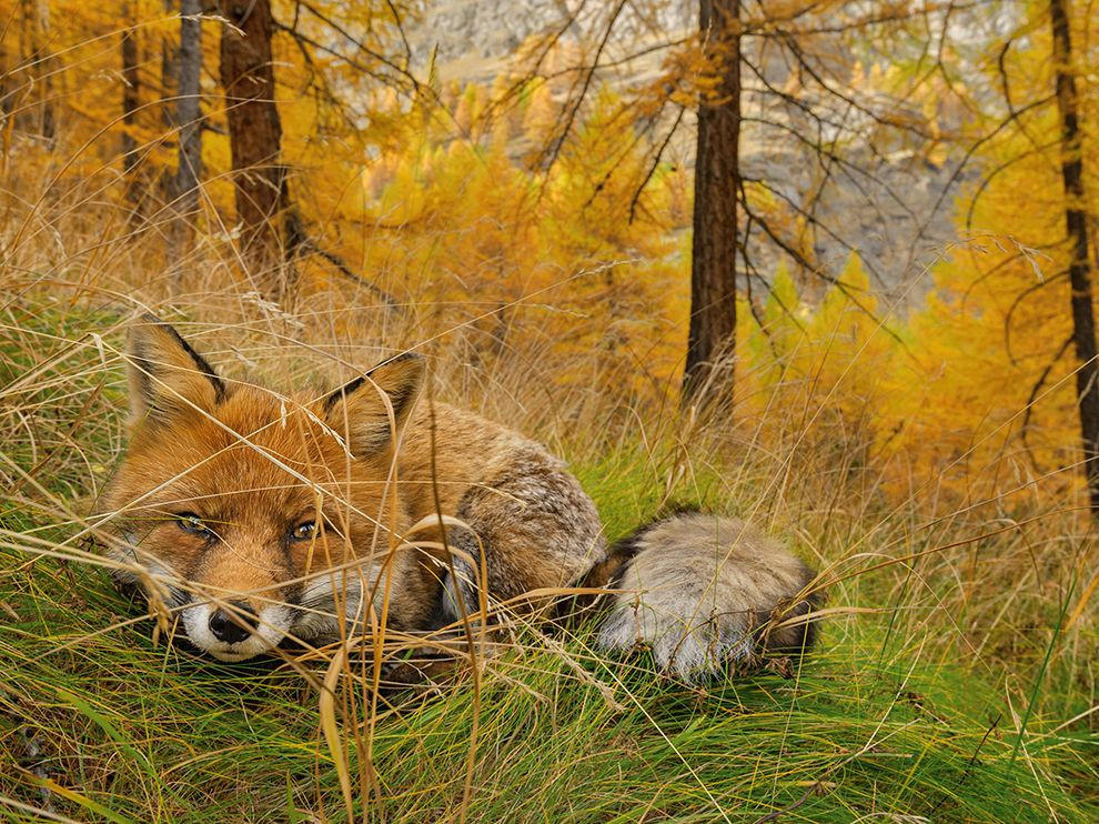 A red fox lies in wait, camouflaged in the autumn woods