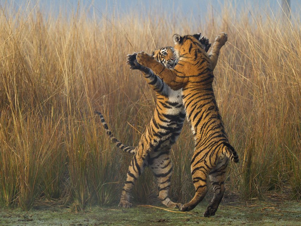 Cubs in India's Ranthambore Tiger Reserve the cubs engage in several bouts of play-fighting