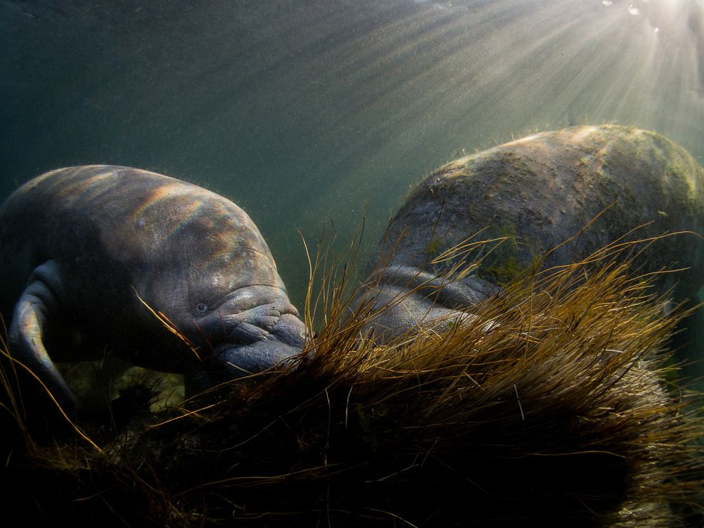 During the winter season some manatees find sanctuary from the chilly Gulf of Mexico by migrating to the freshwater springs of Kings Bay in Crystal River, Florida