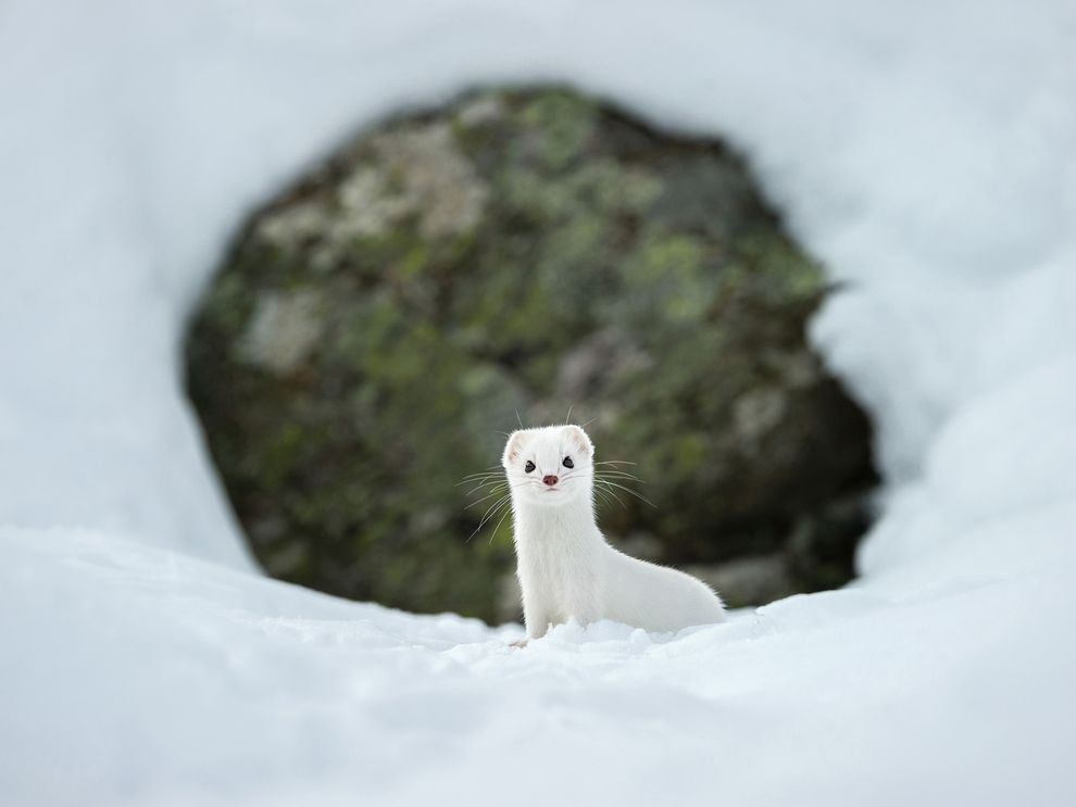 Ermines in Italy's Gran Paradiso National Parkshown here wearing its white winter coat
