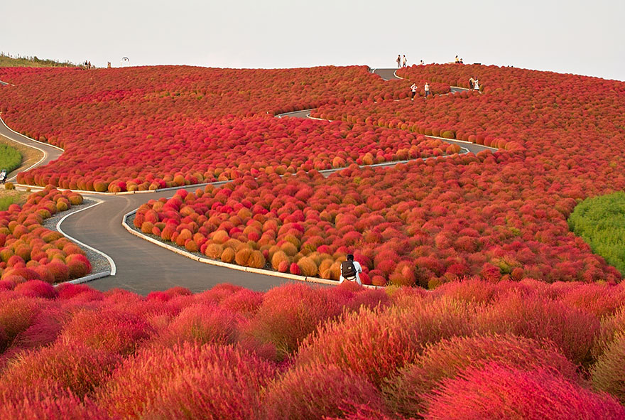 HITACHI SEASIDE PARK, JAPAN IN AUTUMN