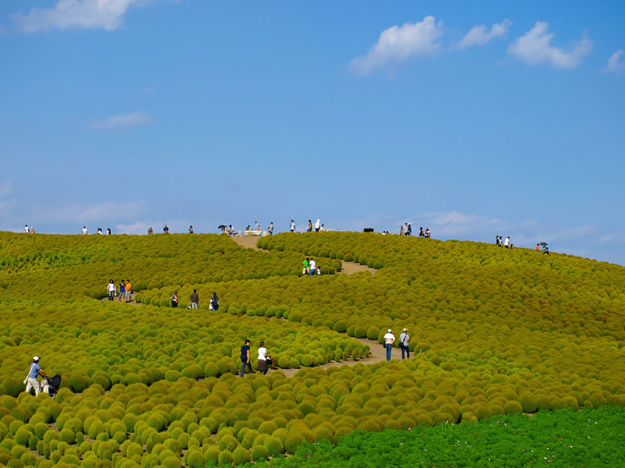 HITACHI SEASIDE PARK, JAPAN IN SUMMER