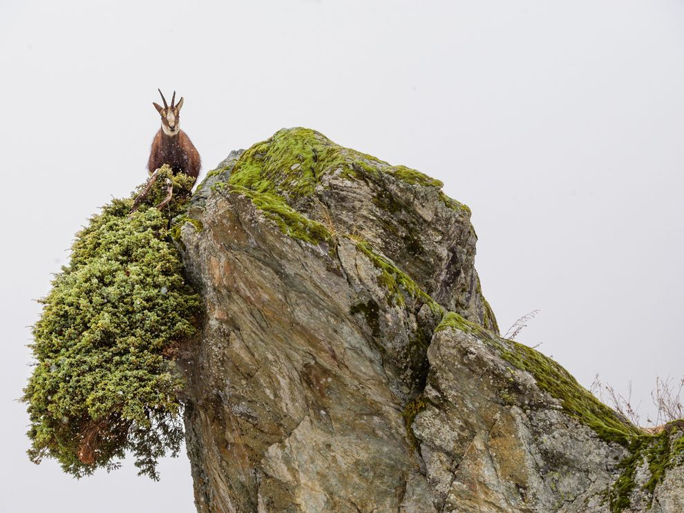 High-foraging chamois in Italy's Gran Paradiso National Park