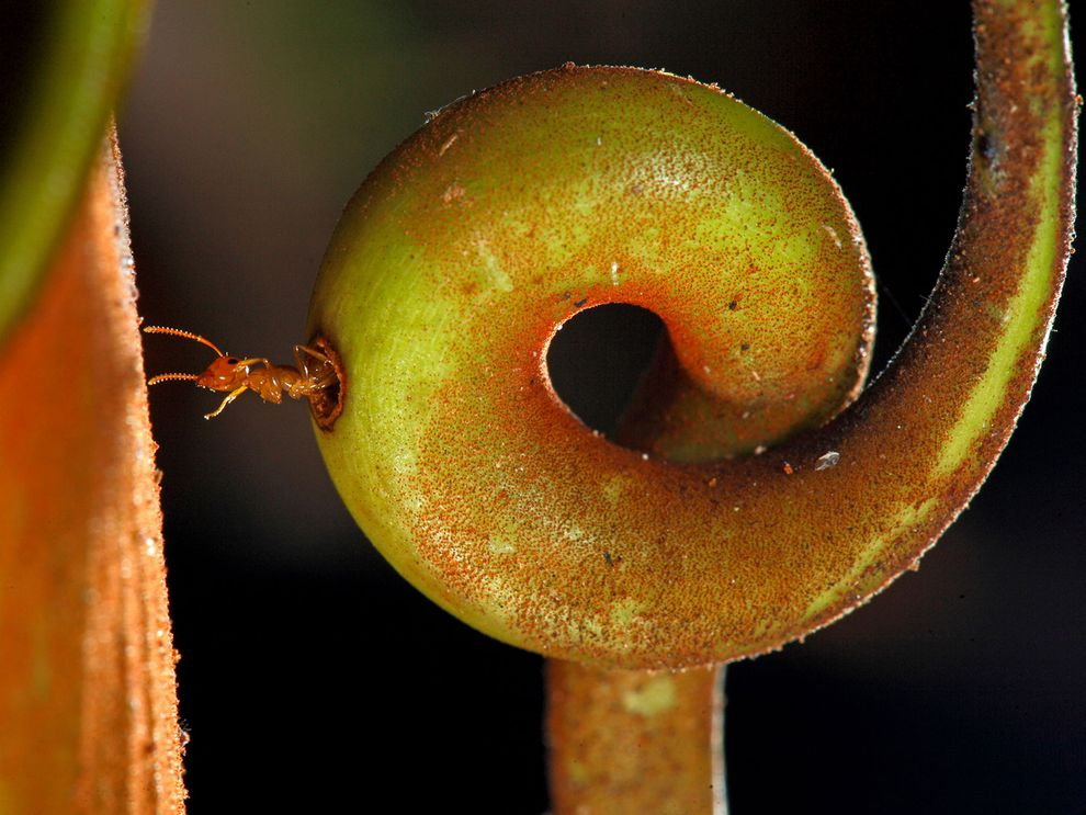 The fanged carniverous pitcher plant and the carpenter ant have a symbiotic relationship
