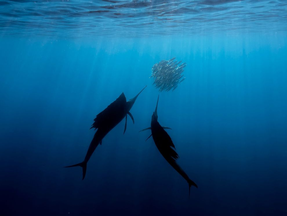The fastest fish in the ocean—the sailfish—hunting fish shoals