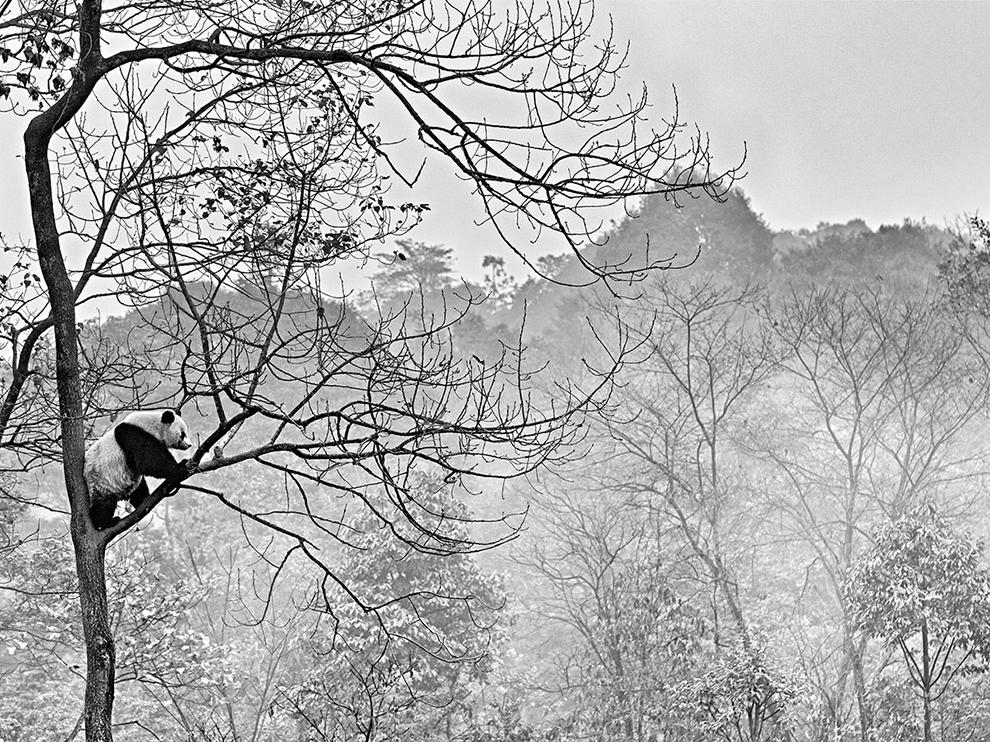 panda-tree-china