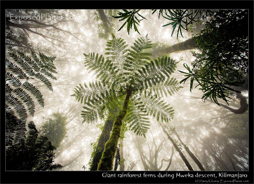 Giant rainforest ferns during Mweka descent, Kilimanjaro