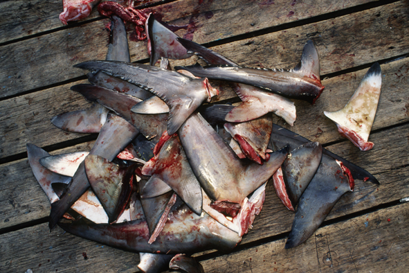How many sharks had to die just to produce this smal pile of tasteless fins?