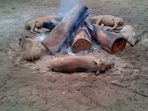 Warthogs around a fireplace