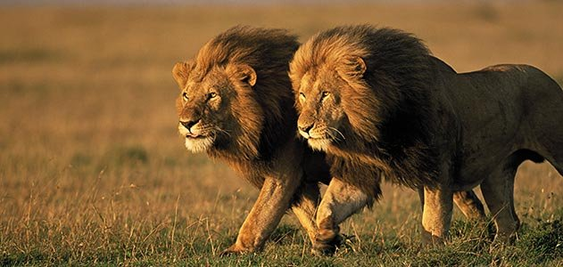 two-male-lions-Kenya