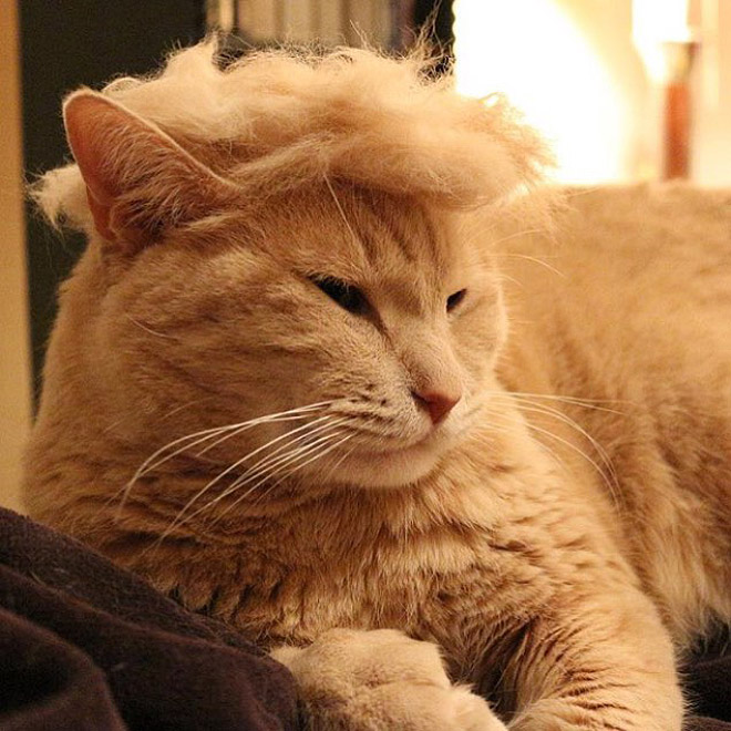 Donald Trump#7-Cat parodying Trumps hair style