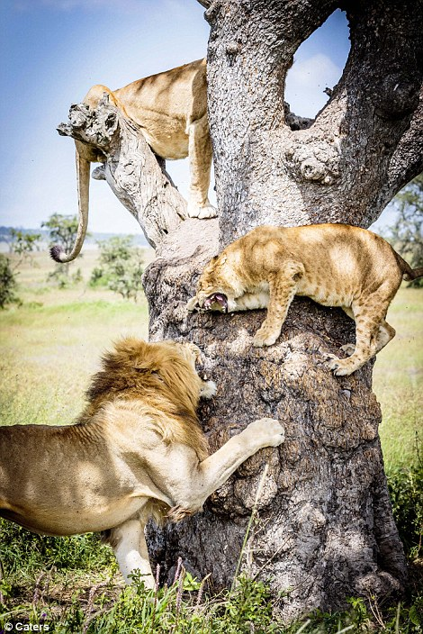 Lions in a tree#1