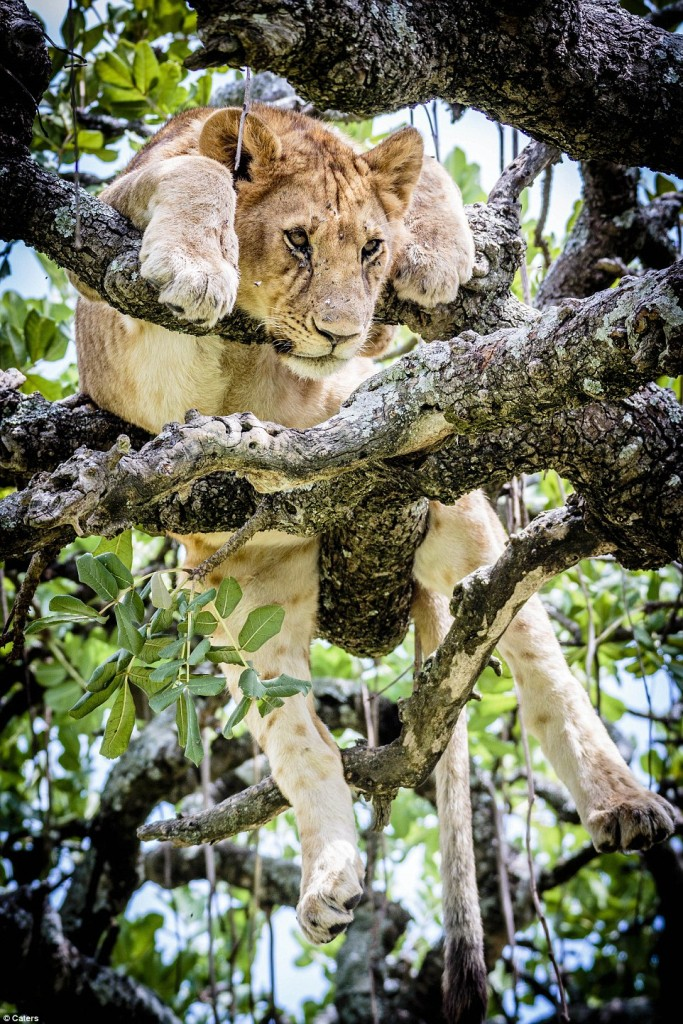 Lions in a tree#10