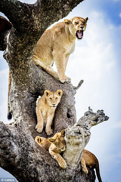Lions in a tree#11