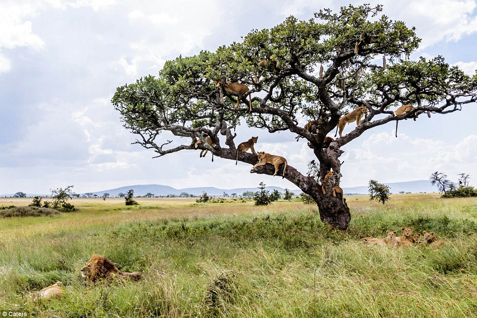 Lions in a tree#13