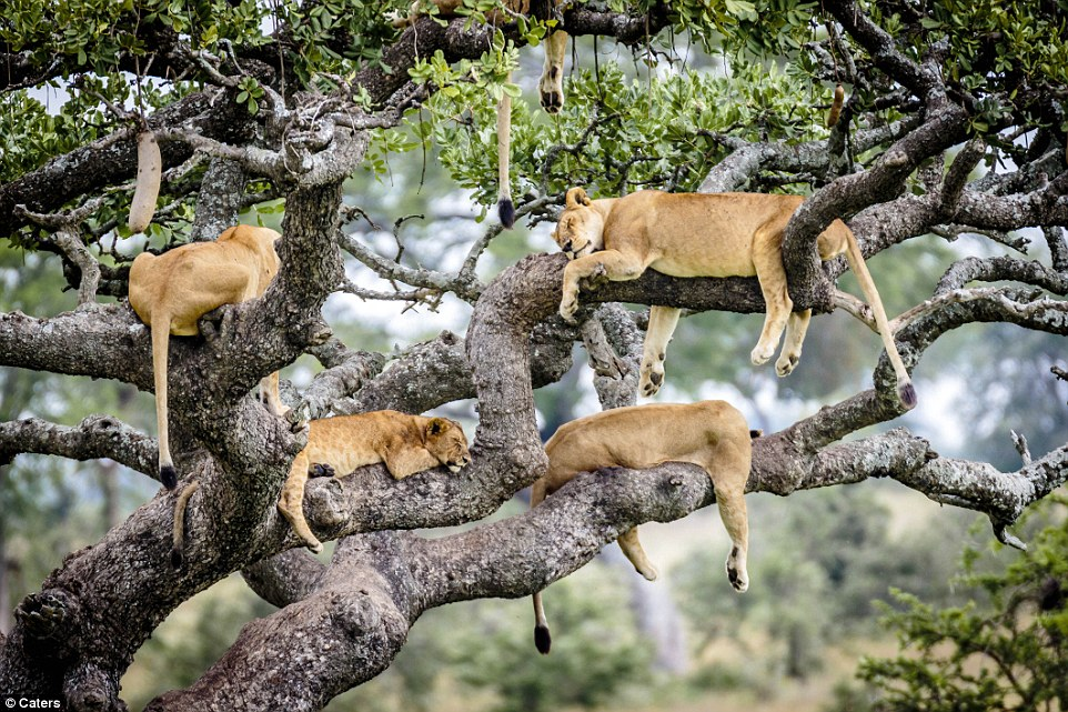 Lions in a tree#14