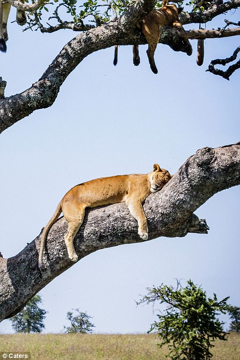 Lions in a tree#2
