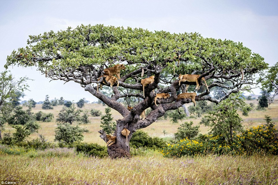Lions in a tree#4