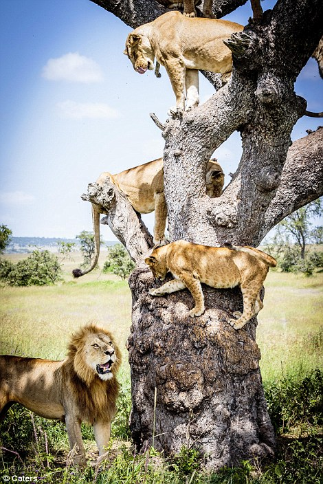 Lions in a tree#5