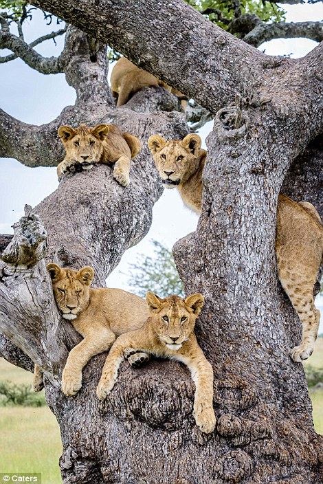 Lions in a tree#6